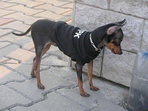 rus terrier