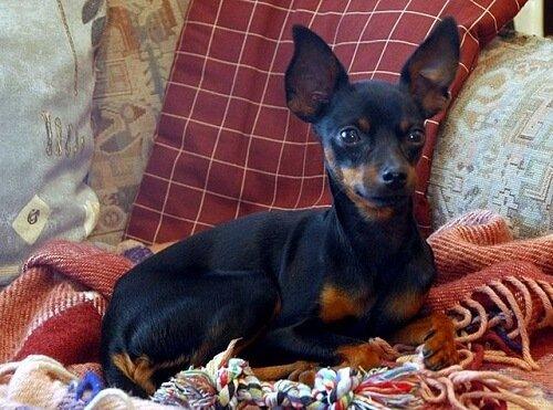Prague Ratter: Dünyanın En Küçük Köpeği
