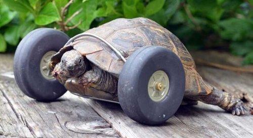 Protez Takılan Kaplumbağa İle Tanışın