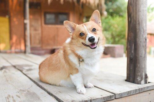 Beden Diline Göre Köpeğinizin Ruh Hali