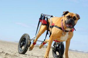 yürüteçli köpek