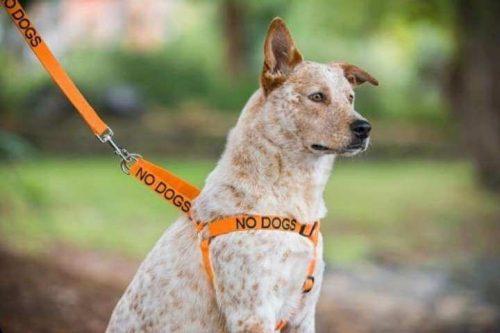 turuncu tasmalı köpek