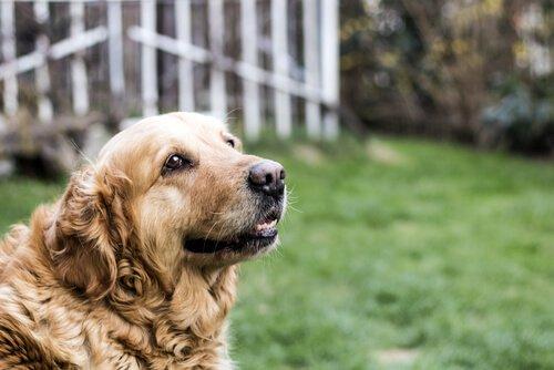 Yaşlı Köpeklerin Bakımı
