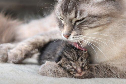 yavrusunu yalayan kedi