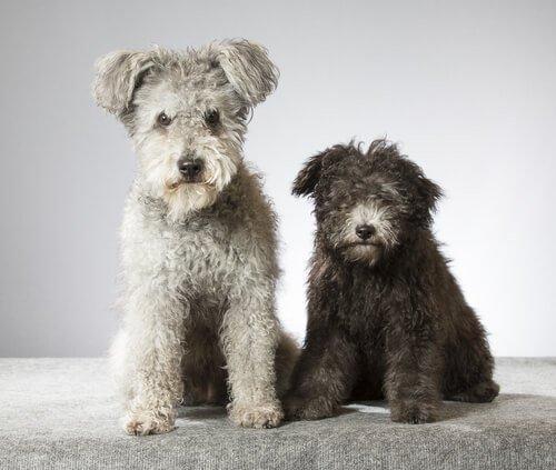 Yeni Bir Köpek Irkı Olan Pumi İle Tanışın
