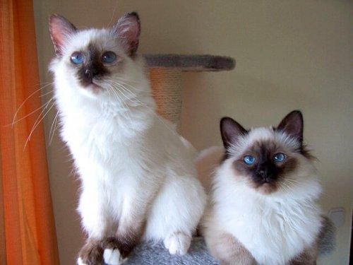 birman cinsi kedi