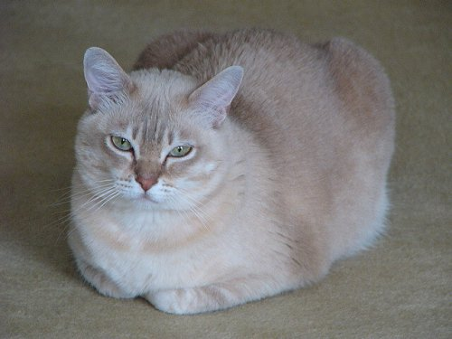 burmilla cins kedi