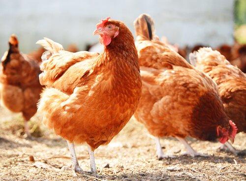 çiftlik yumurtası