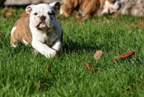 kükürt ve köpekler