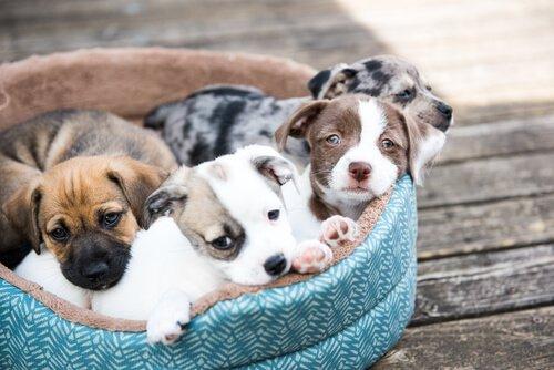 yatakta yavru köpekler
