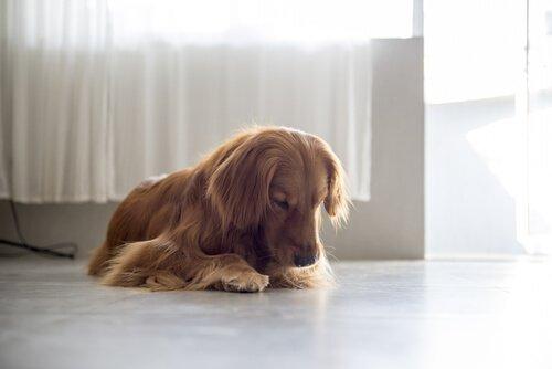 Dişi Köpekler Neden Vulvalarını Yalar?