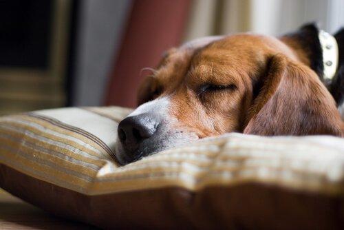 Köpeklerde Ani Ölüm Neden Kaynaklanır?