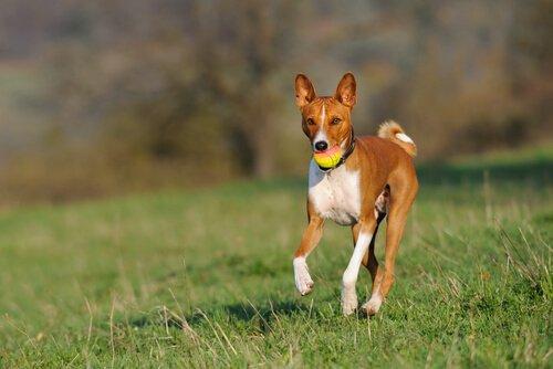 En Az Havlayan Köpek Cinsleri Hangileridir?