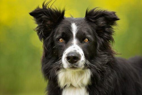 en zeki köpek ırkları