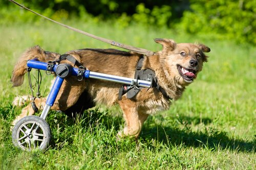 engelli köpek bahçede