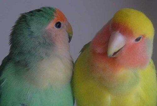 Evcil Hayvan Olarak Beslenen Kuşlar: Çiftler Halinde Daha Mutlular