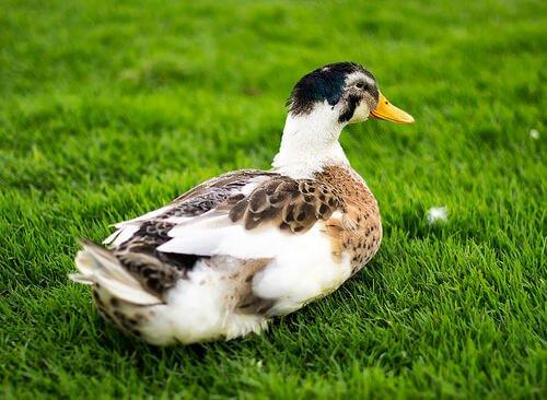 Evcil Ördekler: Sevgi Dolu Arkadaşlar