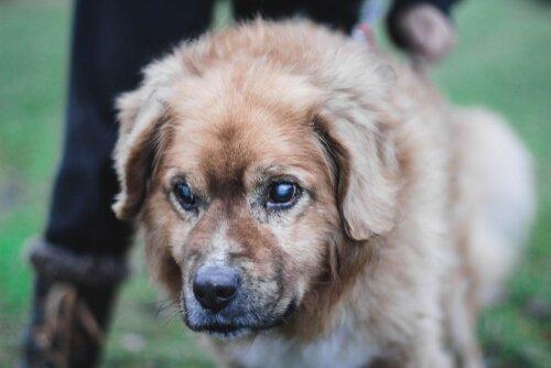 Görme Engelli Bir Köpeğin Bakımı İçin Tavsiyeler
