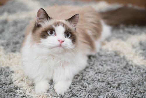 Kedinize Nasıl Eğitim Verirsiniz?