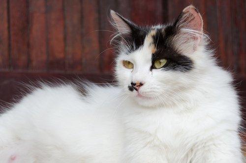 kedilerde hamileliği önlemek