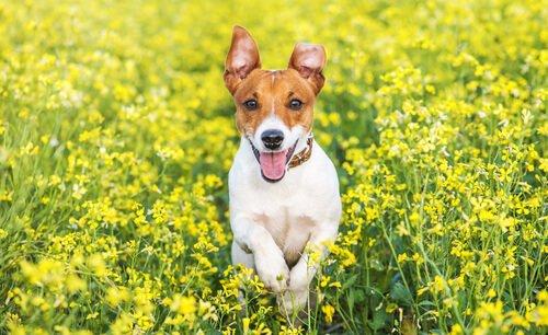 Terrier Cinsleri: 5 Terrier Cinsi Ve Benzerlikleri