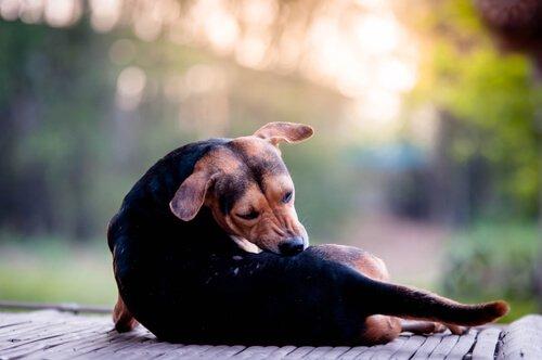 Köpeklerde Uyuz Hastalığı