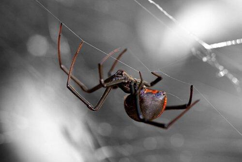Dünyanın En Tehlikeli 8 Örümcek Türü