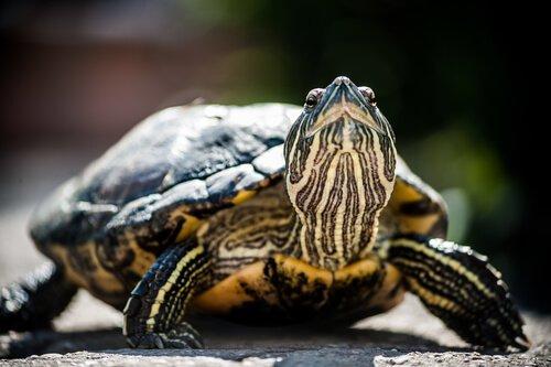 Nesli Tükenmekte Olan Kaplumbağalar