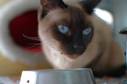 Kediler İçin Ev Yapımı Tarifler