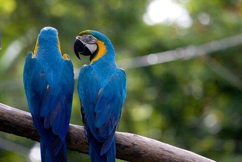 mavi iki papağan