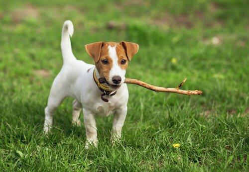 Kısa Tüylü Köpek İsimleri