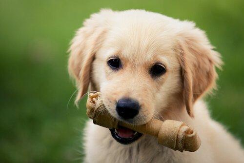 kemik çiğneyen yavru köpek