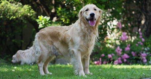 Köpeklerde Kalp Hırıltısı: Önlem ve İlk Yardım