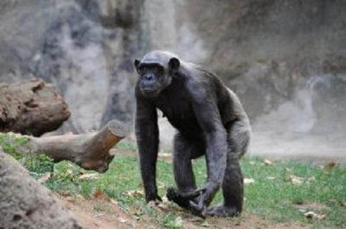 ormanda dolaşan maymun