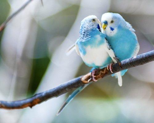 mavi muhabbet kuşları