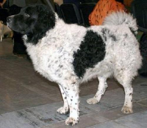 siyah benekli beyaz köpek