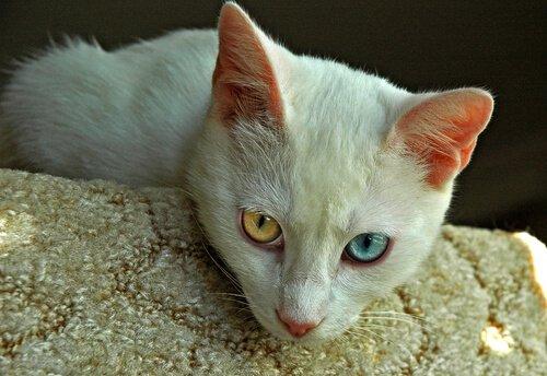 En Eski Kedi Cinsleri