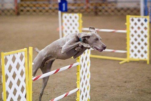 çeviklik yarışması yapan köpek