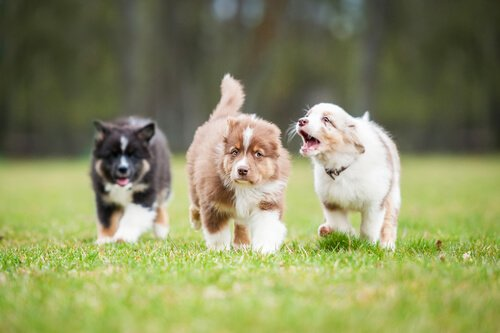 yavru köpekler için lapa