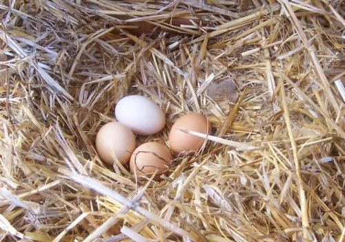 Tavuğunuzun Yumurta Kalitesini Artırın