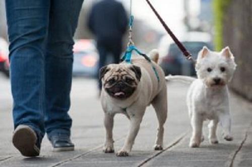 yürüyüş yapan iki köpek