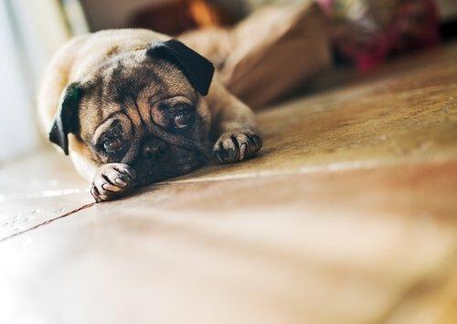 evde tek başına köpek