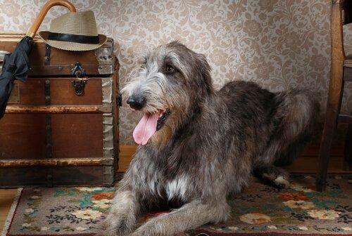 Köpeklerin Devi, İrlanda Kurt Köpeği