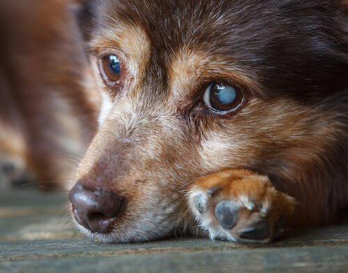 köpeklerde katarakt