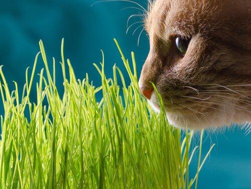 çim koklayan kedi