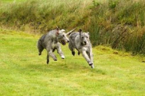 irlanda kurt köpekleri