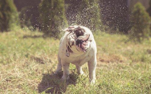 köpekler neden silkelenir