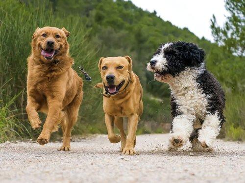 kızgınlık dönemindeki dişi köpeklerin davranışları