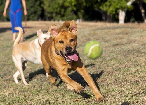 Köpeğinize Bir Nesneyi Geri Getirme Eğitimini Nasıl Verirsiniz?