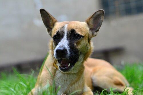 uzun kulaklı köpek